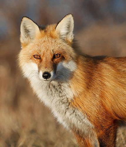 google images fox fox head front google search brand pinterest