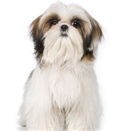 shih tzu throwing up 1000 images about shih tzu on shih tzu shih tzu and shih tzu puppy
