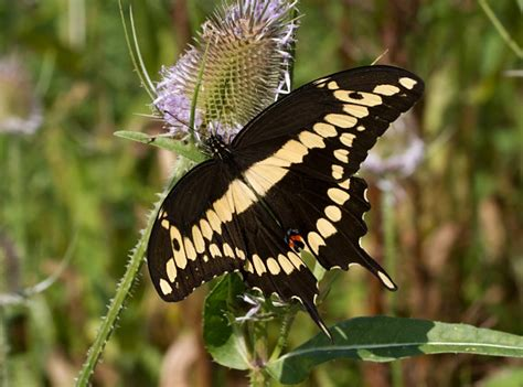 butterflies of north america heraclides cresphontes