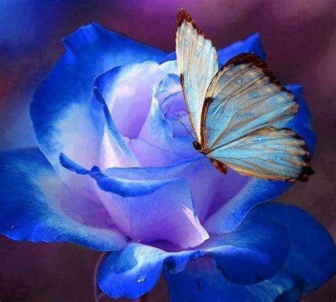 flores azules claras mariposa imagenes de archivo imagen 2050474 la rosa y la mariposa azul falsaria com
