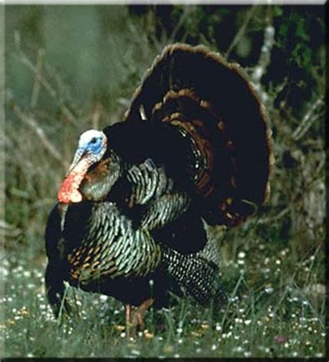 how to tell male or female wild turkey upland game identification
