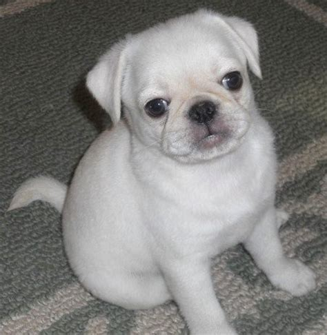 white pug dogs 25 best ideas about white pug on baby black pug pug puppies and pug