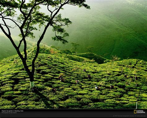 Ta Gardens by Beautiful Green Tea Gardens Hd Wallpapers Desktop Wallpapers