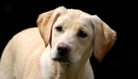 how to labrador in shades of yellow labradors