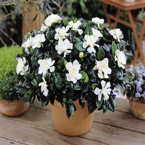 grow  gardenia indoors home outdoor decoration