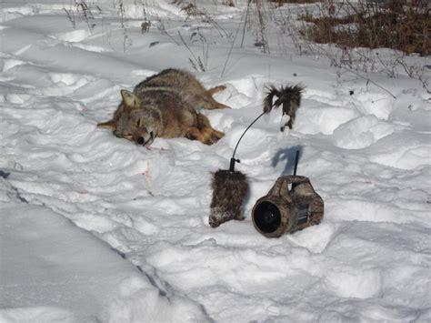 coyote challenge call virginia coyote