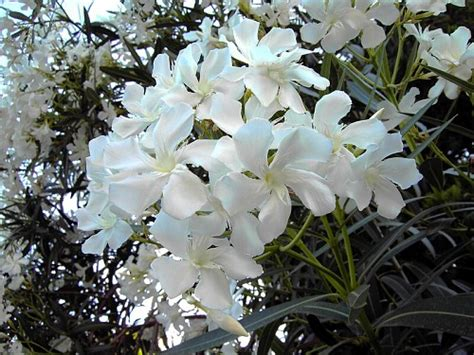 fiori oleandro oleandro piante forestali