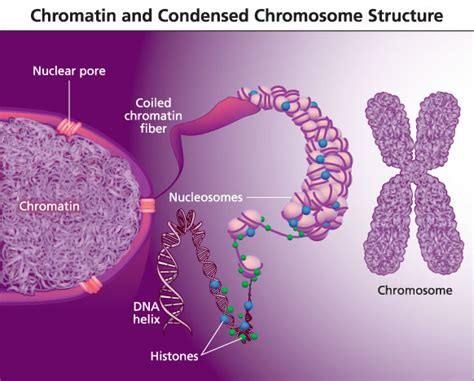 chromatin diagram illustrations by sholto ainslie at coroflot