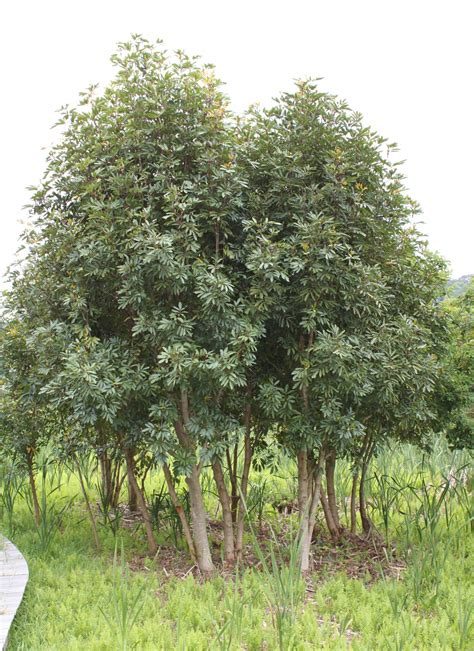 pictures of trees cunonia capensis butterspoon tree red alder sun trees