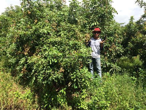 Cari Bibit Kelengkeng Itoh kebun buah kelengkeng dan bengkoang pak sumawar kota