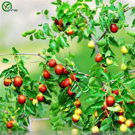 mini fruit trees popular mini fruit trees buy cheap mini fruit trees lots
