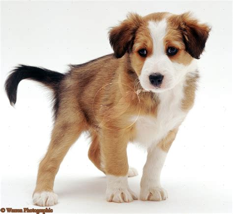 miniature collie puppies miniature border collie brown www imgkid the image kid has it