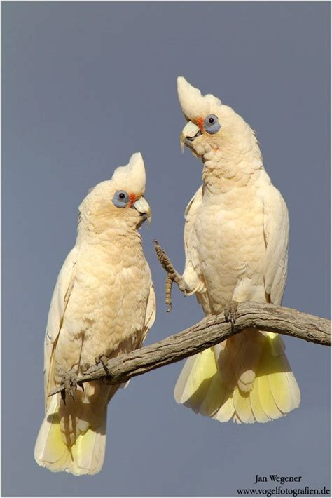 1000 images about parrots on pinterest eos crests and