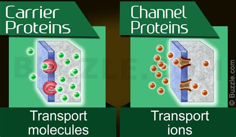 a protein channel is a transport protein that a between carrier proteins vs channel proteins