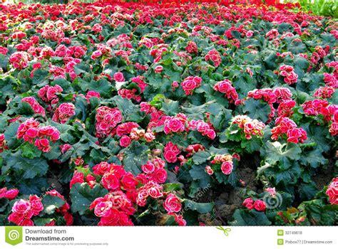 nice flower garden nice pink flower in garden royalty free stock photos