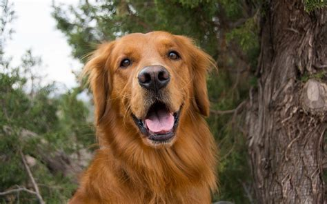 names for a golden retriever 40 best golden retriever names