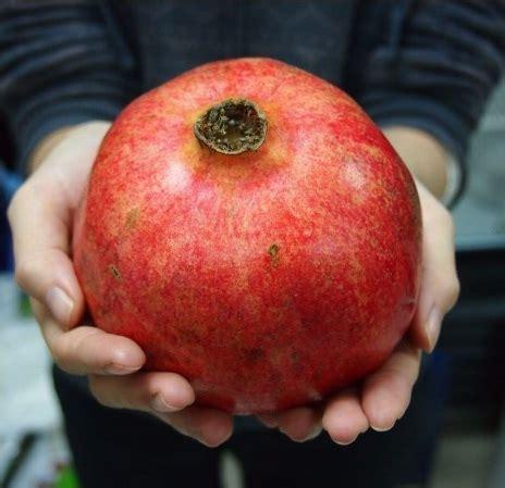 Beli Bibit Buah Delima Merah benih delima turki bibitbunga