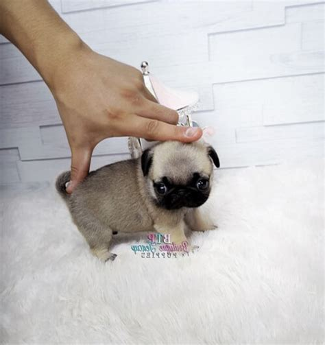 how to care for a pug puppy pug puppies history types temperament care and how to s
