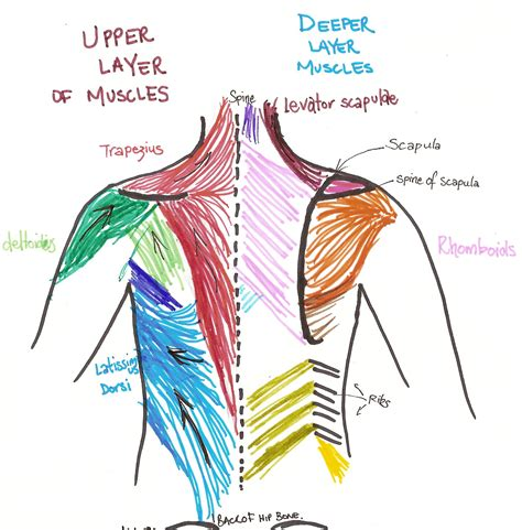 back muscles diagram 301 moved permanently