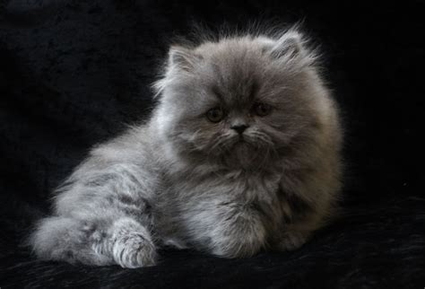 Adorable Pedigree Persian Kitten. Blue female   Newton