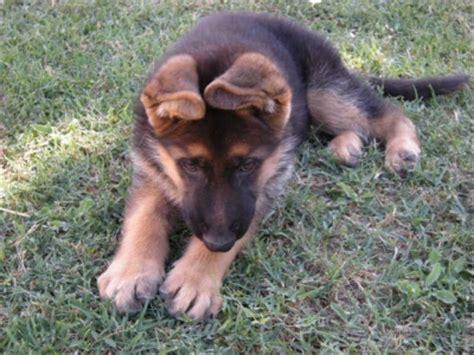 alimentazione pastore tedesco 7 mesi allevamento e cuccioli pastore tedesco in umbria cani
