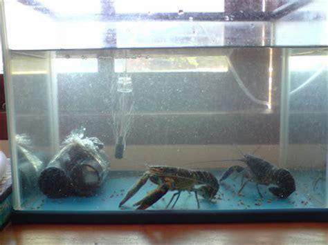 Jual Bibit Lobster Air Tawar Jawa Timur hidupindah budidaya lobster air tawar