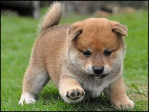shiba inu puppies adoption akc shiba inu puppies for offer