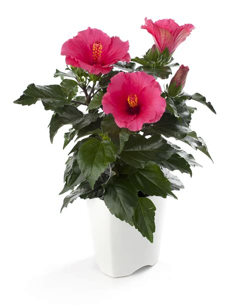 Hibiscus In Planters by Floradania Marketing Plants