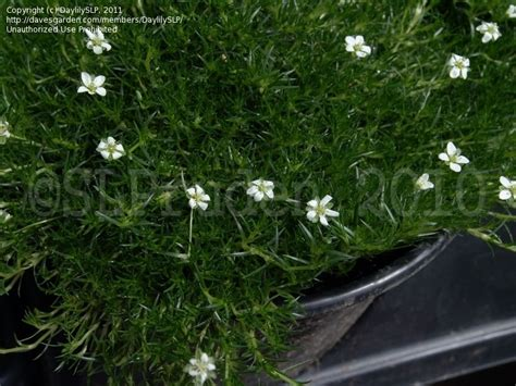 Gardens Dearborn by Plantfiles Pictures Moss Pearlwort Sagina Subulata By Daylilyslp