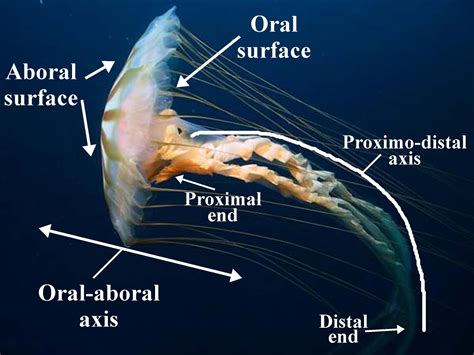 Box Jellyfish Anatomy