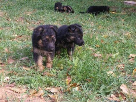 what to feed puppies at 6 weeks 6 week german shepherd health and care feeding