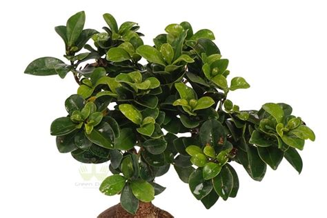 bonsai da appartamento potare un bonsai di ficus 3 bonsai ficus potare un