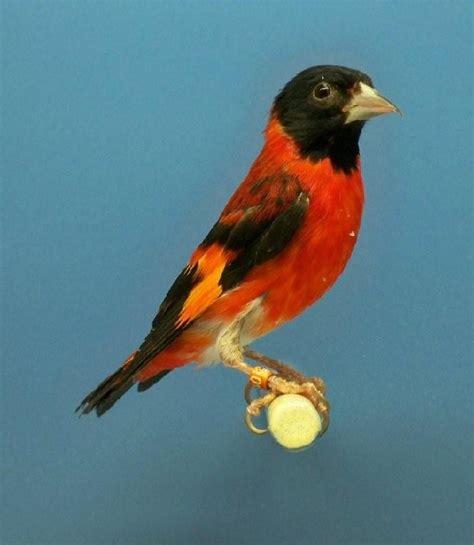 uccelli esotici da gabbia uccelli da gabbia cardinalino