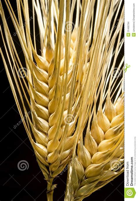 whole grains a z barley stock images image 31490794