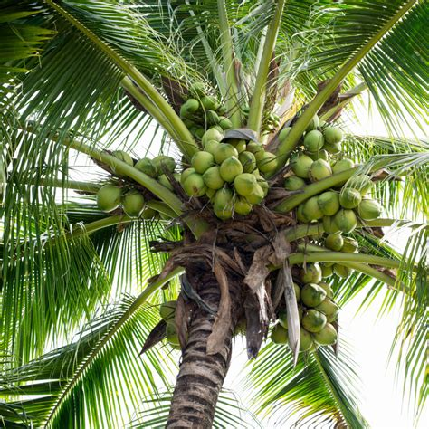 Coconut Tree the shark and the coconut lessons for leaders lars sudmann