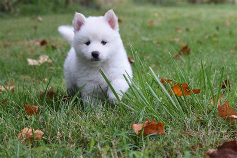 puppy creek pomsky puppy breeds picture