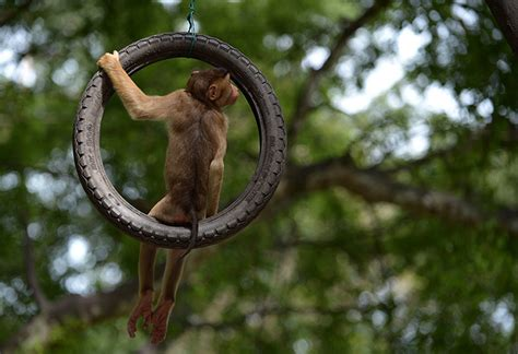 monkey swing 24 hours in pictures news the guardian