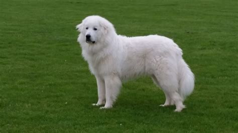 pyrenean mountain puppies pyrenean mountain milton keynes buckinghamshire pets4homes