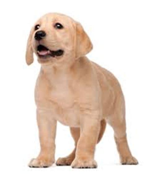 feeding a lab puppy royal canin labrador puppy feeding guide pets world