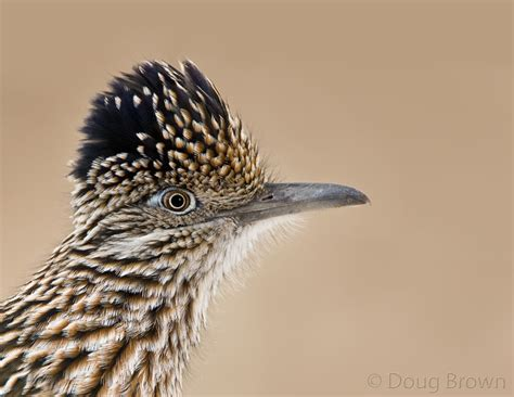 new mexico birds paisano bird greater roadrunner
