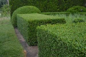 pruning boxwood dirt simple