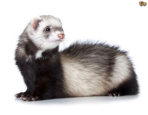 What is Aleutian Disease in Ferrets?   Pets4Homes