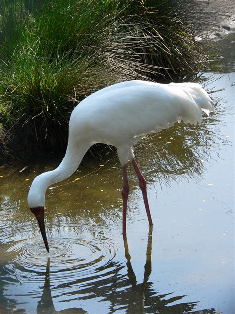 siberian crane siberian crane photos and wallpapers collection of the