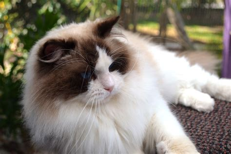 ragdoll breeders softnsweet ragdolls ragdoll breeder gold coast queensland