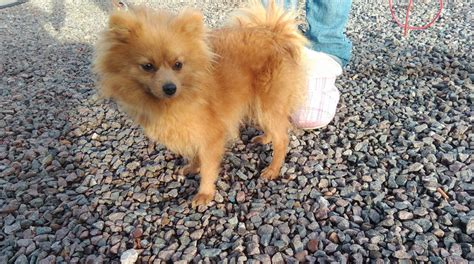oldest pomeranian pomeranian 18 month derby derbyshire pets4homes