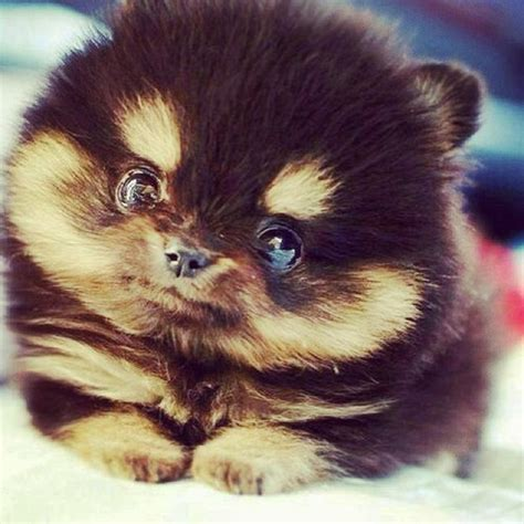 pomeranian cross husky puppies a pomsky pomeranian cross husky is this not the cutest the scarletz