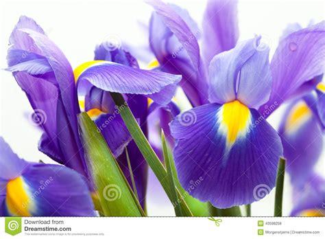 giglio viola fiore fiore viola blueflag giglio giallo fotografia