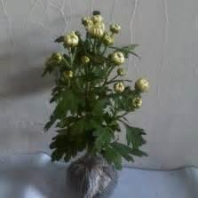Hibiscus Putih Tumpuk 20 40cm tanaman amarilis merah amaryllis bibitbunga