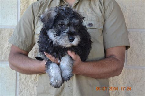 schnoodle puppies for sale near me puppies for sale schnoodle all sizes miniature schnoodles f breeds picture