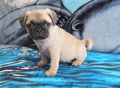pug puppies purebred ckc registered
